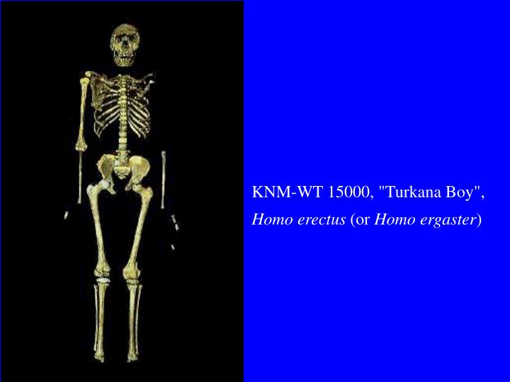 """KNM-WT 15000, """"Turkana Boy"""","""