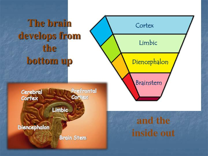 The brain develops from the