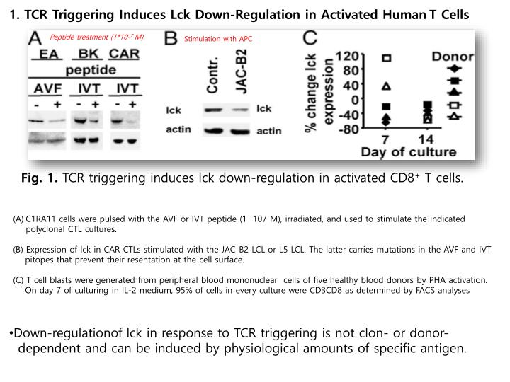 1. TCR Triggering Induces Lck Down-Regulation in Activated Human