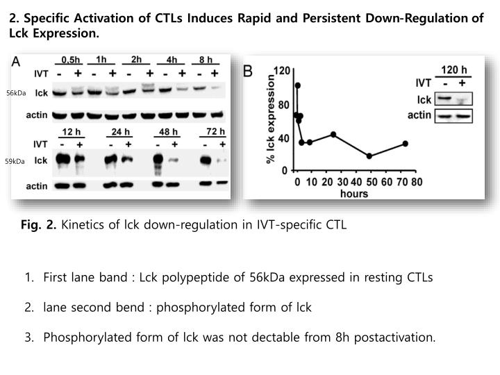 2. Specific Activation of CTLs Induces Rapid and Persistent Down-Regulation