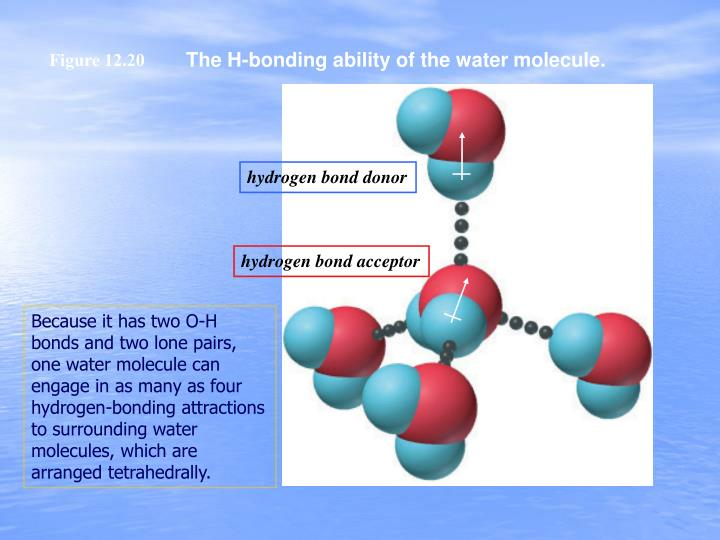 The H-bonding ability of the water molecule.