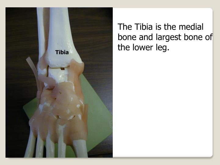 The Tibia is the medial bone and largest bone of the lower leg.