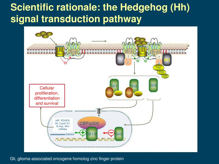 Scientific rationale: the Hedgehog (Hh) signal transduction pathway