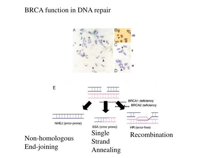 BRCA function in DNA repair