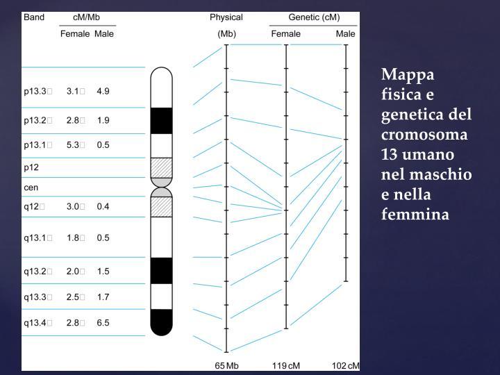Mappa fisica e genetica del cromosoma 13 umano nel maschio e nella femmina