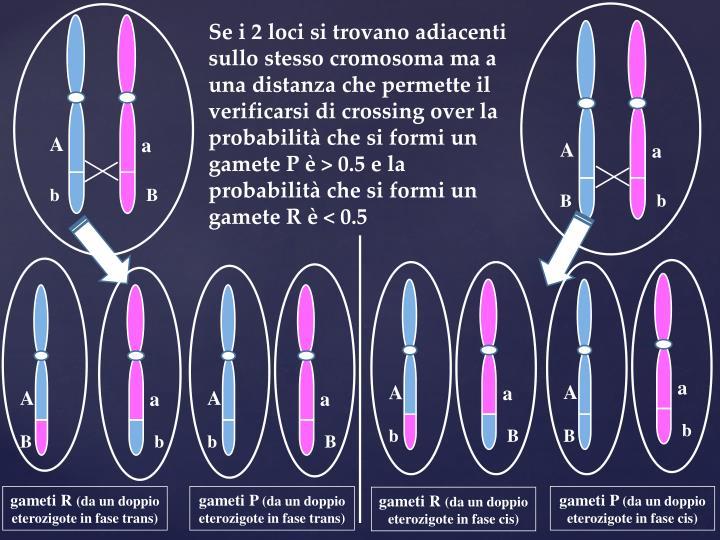 Se i 2 loci si trovano adiacenti sullo stesso cromosoma ma a una distanza che permette il verificarsi di crossing over la probabilità che si formi un gamete P è > 0.5 e la probabilità che si formi un gamete R è < 0.5