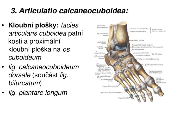 3. Articulatio calcaneocuboidea: