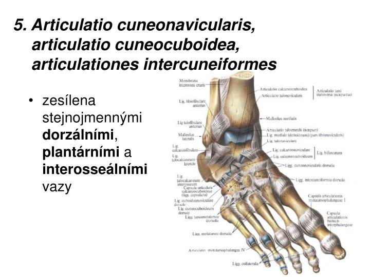 5. Articulatio cuneonavicularis,