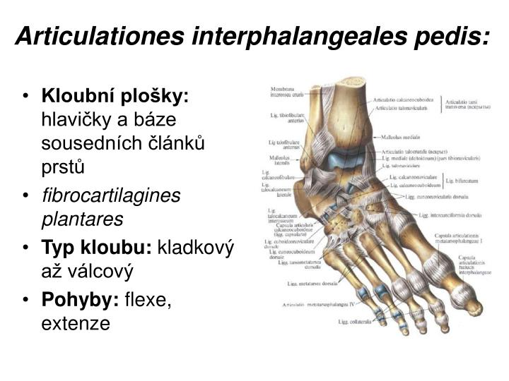 Articulationes interphalangeales pedis: