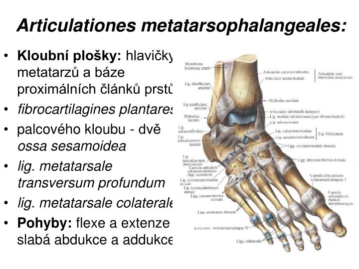 Articulationes metatarsophalangeales: