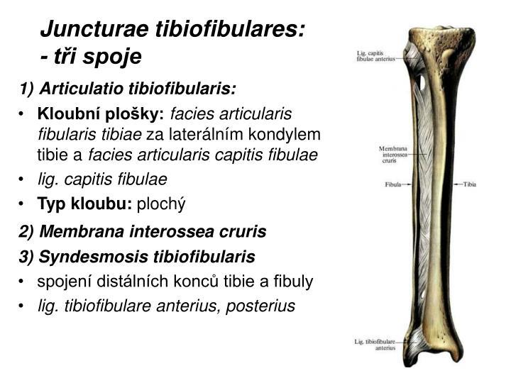 Juncturae tibiofibulares: