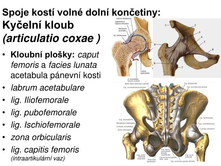 Spoje kostí volné dolní končetiny: