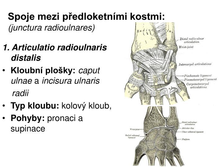 Spoje mezi předloketními kostmi:
