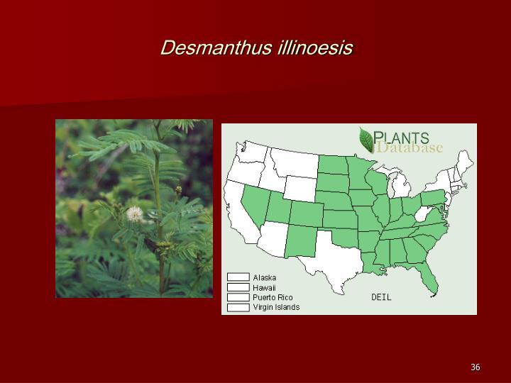 Desmanthus illinoesis