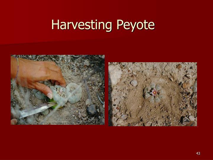 Harvesting Peyote