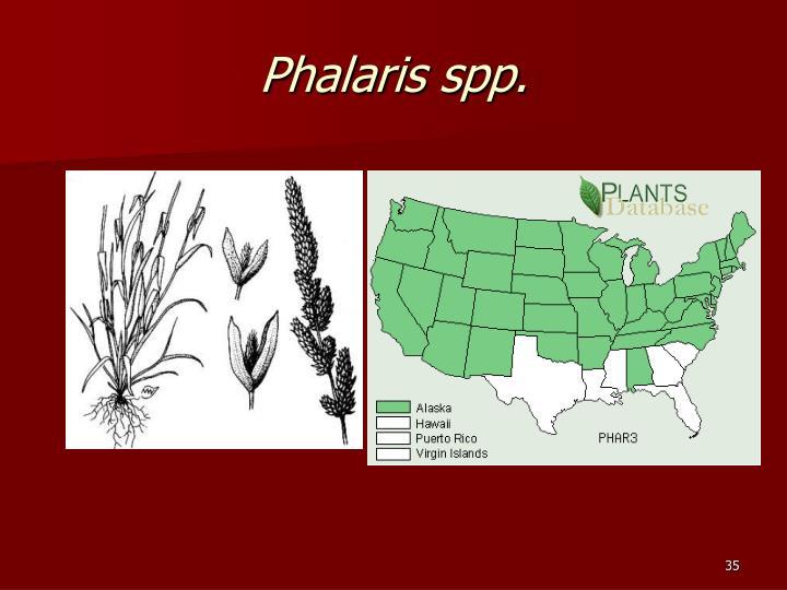 Phalaris spp.