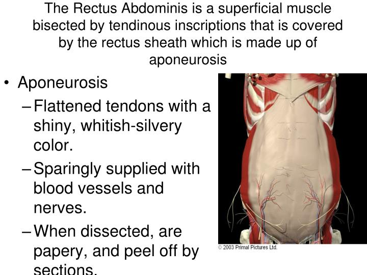 The Rectus Abdominis is a superficial muscle bisected by tendinous inscriptions that is covered by the rectus sheath which is made up of aponeurosis