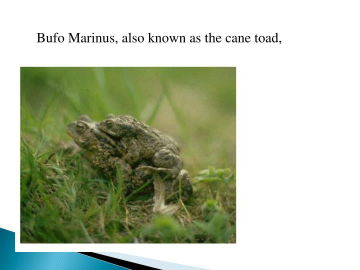 Bufo Marinus, also known as the cane toad,