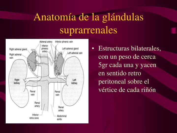 Anatomía de la glándulas suprarrenales