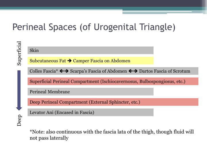 Perineal Spaces (of Urogenital Triangle)