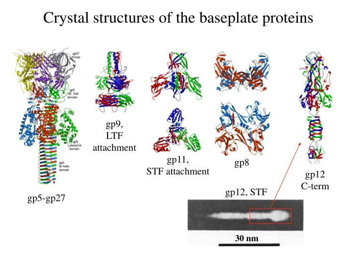 Crystal structures of the baseplate proteins