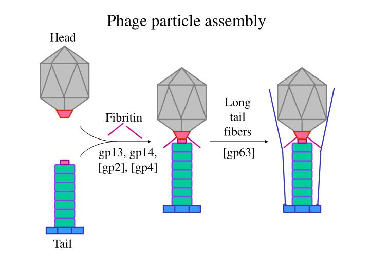 Phage particle assembly