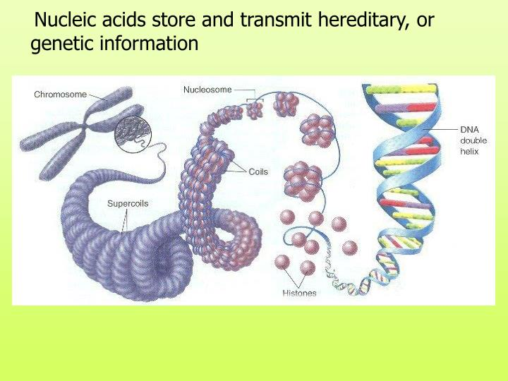 Nucleic acids store and transmit hereditary, or genetic information
