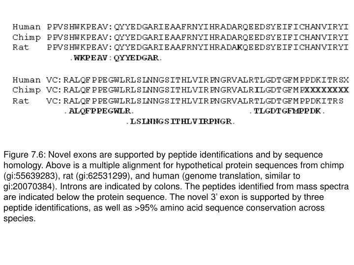Figure 7.6: Novel exons are supported by peptide identifications and by sequence homology. Above is a multiple alignment for hypothetical protein sequences from chimp (gi:55639283), rat (gi:62531299), and human (genome translation, similar to gi:20070384). Introns are indicated by colons. The peptides identified from mass spectra are indicated below the protein sequence. The novel 3' exon is supported by three peptide identifications, as well as >95% amino acid sequence conservation across species.