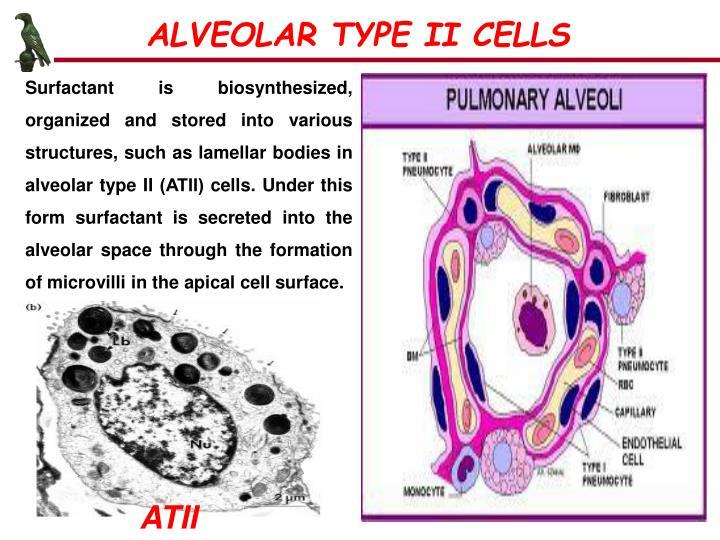 ALVEOLAR TYPE II CELLS