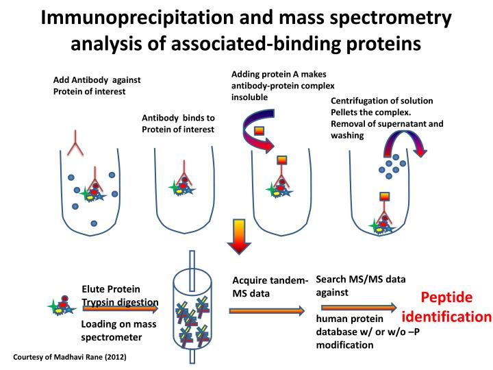 Immunoprecipitation and mass spectrometry analysis of associated-binding proteins