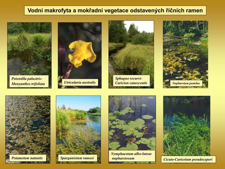 Vodní makrofyta a mokřadní vegetace odstavených říčních ramen