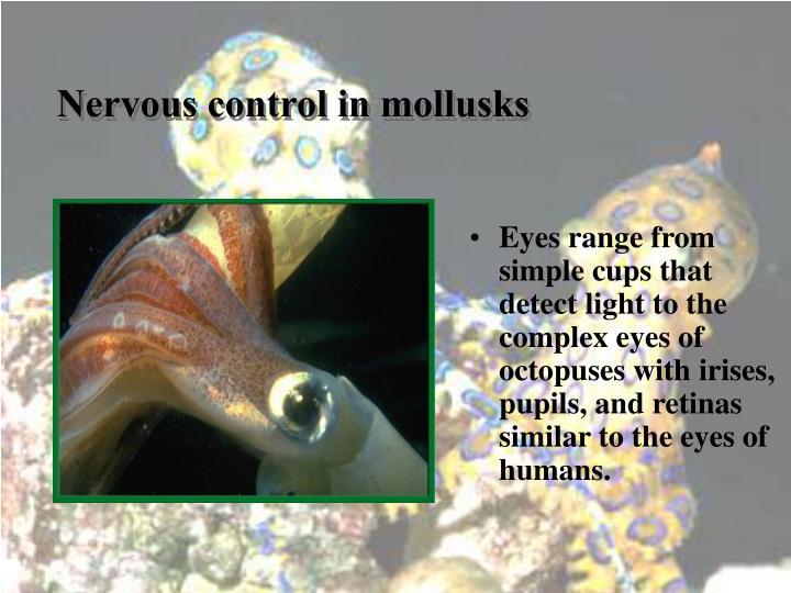 Nervous control in mollusks