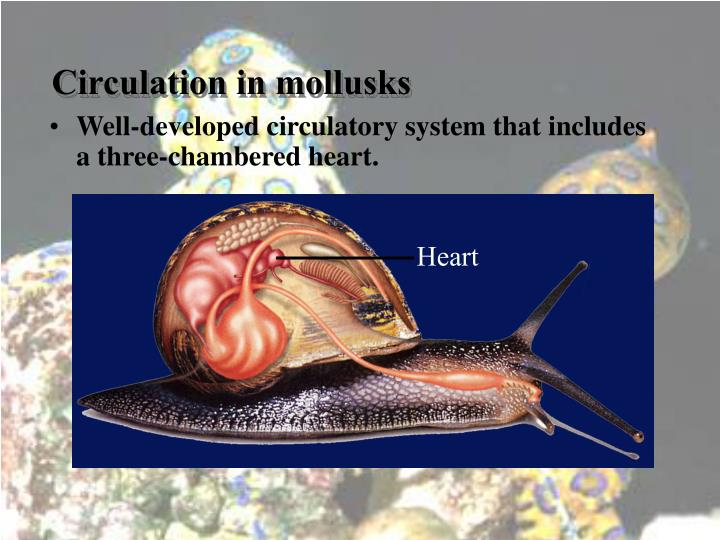 Circulation in mollusks