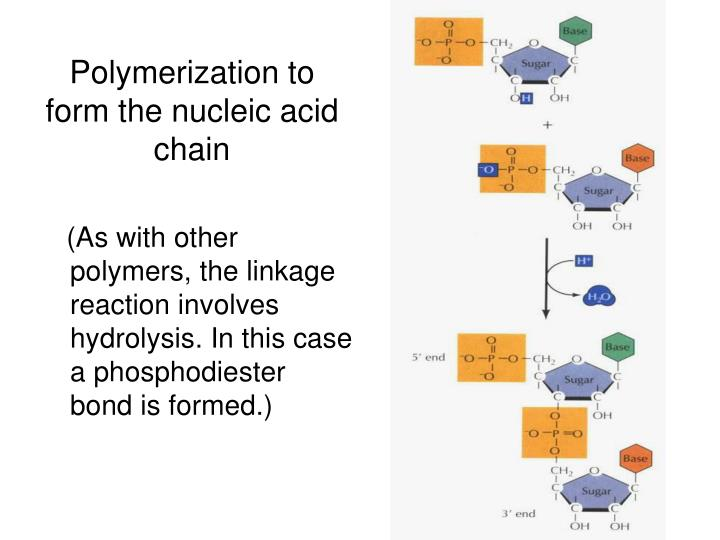 Polymerization to form the nucleic acid chain