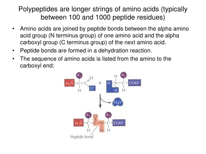 Polypeptides are longer strings of amino acids (typically between 100 and 1000 peptide residues)