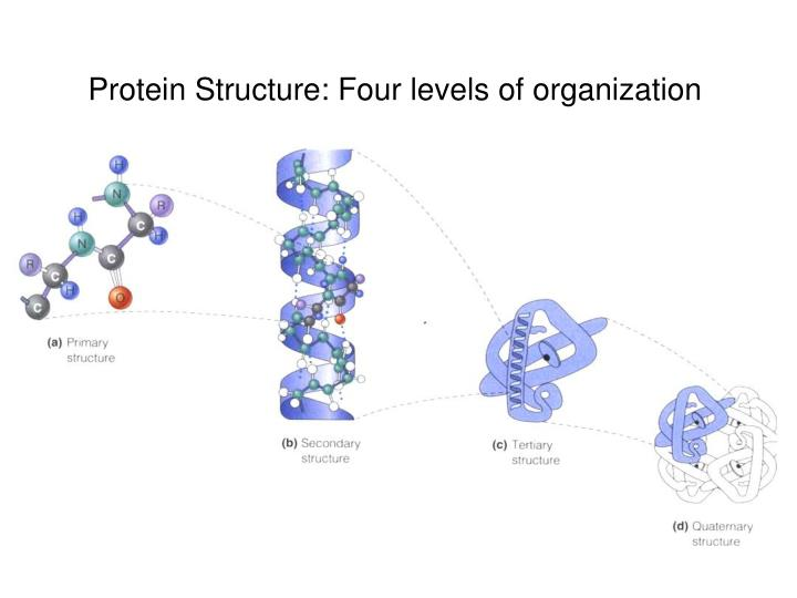 Protein Structure: Four levels of organization