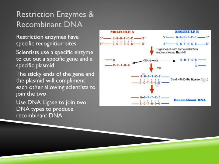 Restriction Enzymes & Recombinant DNA