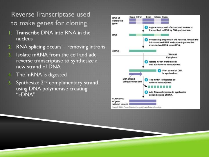 Reverse Transcriptase used to make genes for cloning
