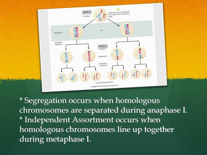 * Segregation occurs when homologous chromosomes are separated during anaphase I.