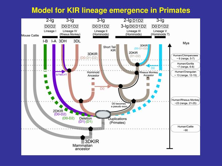Model for KIR lineage emergence in Primates