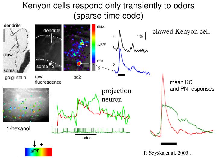 Kenyon cells respond only transiently to odors