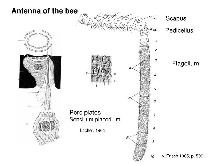 Antenna of the bee