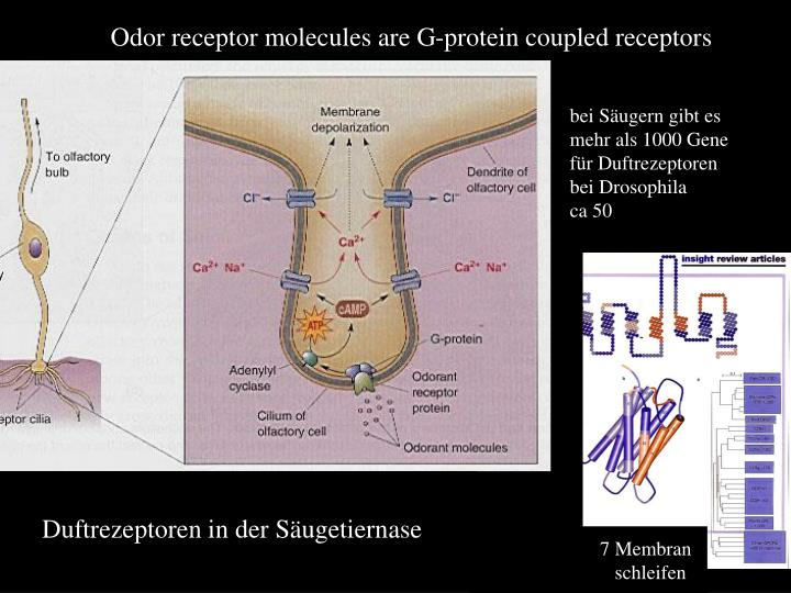 Odor receptor molecules are G-protein coupled receptors
