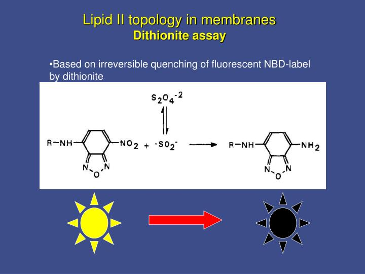 Lipid II topology in membranes