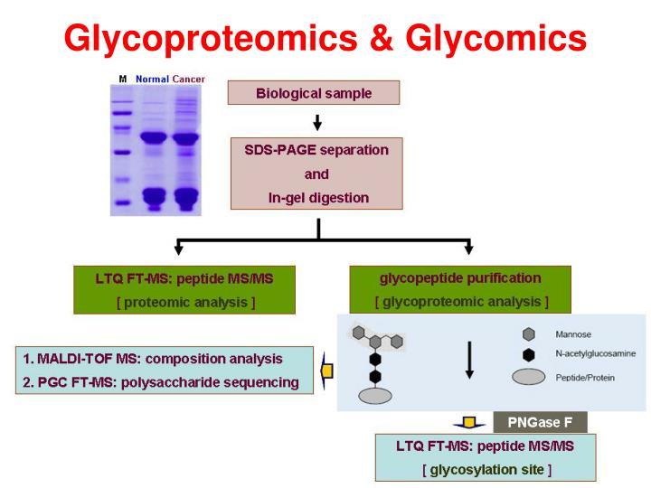 Glycoproteomics & Glycomics