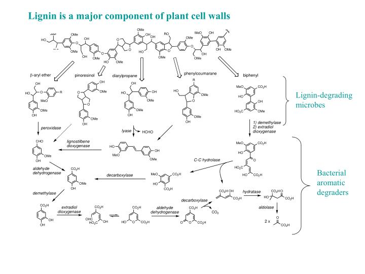 Lignin is a major component of plant cell walls