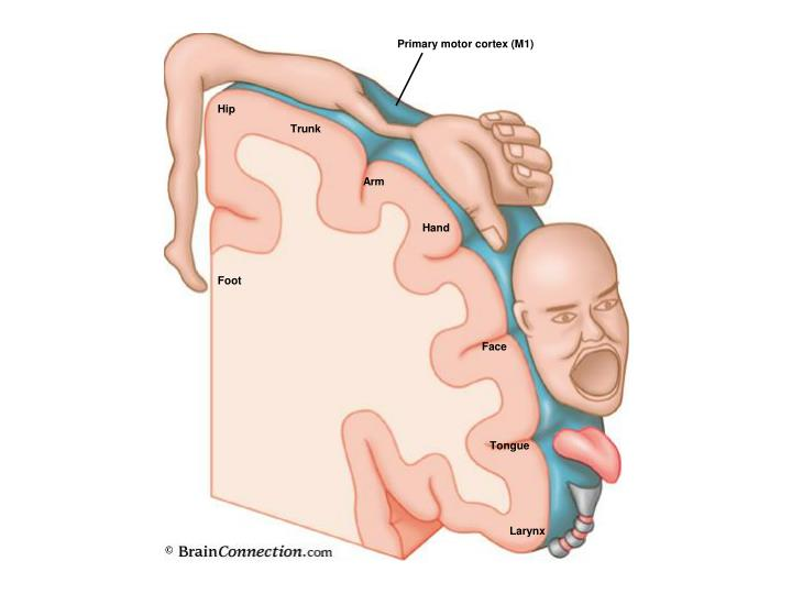 Primary motor cortex (M1)