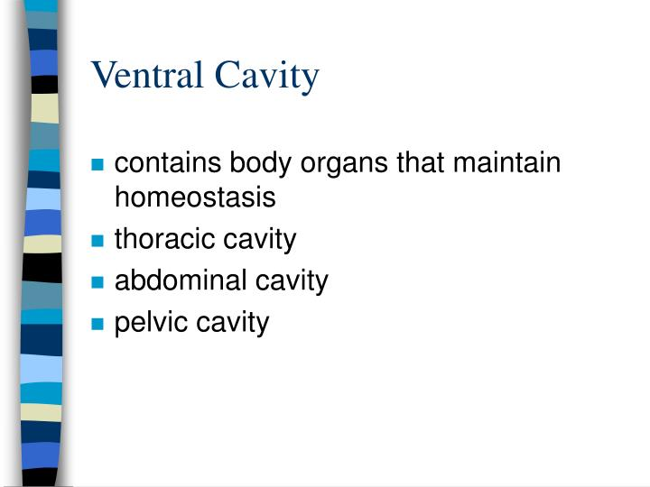 Ventral Cavity