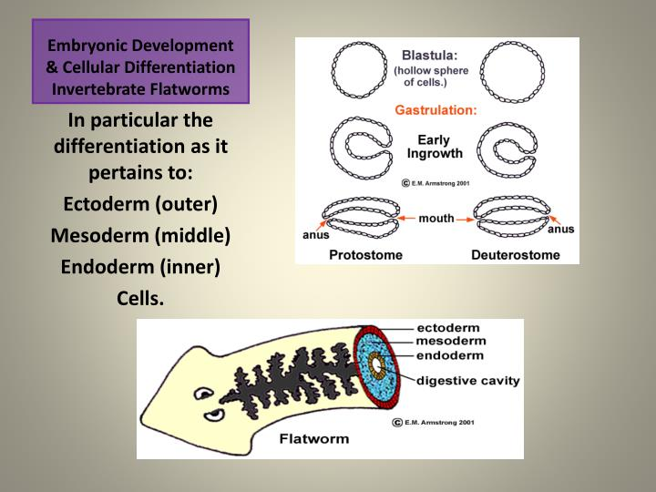Embryonic development cellular differentiation invertebrate flatworms1