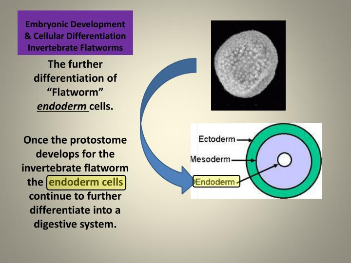 Embryonic Development & Cellular Differentiation